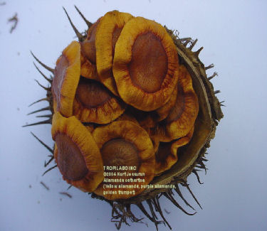 Allamanda cathartica seedpod