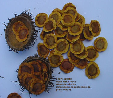 Allamanda cathartica - Golden trumpet seeds