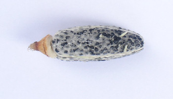 Aframomum melegueta with viable seeds