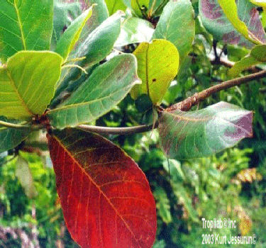 Terminalia catappa - Tropical almond. The leaves seem to get rid of intestinal parasites; treat eye problems, rheumatism, wounds.