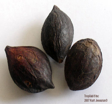 Terminalia catappa - Tropical almond seeds. The kernel of the seed has aphrodisiac activity and may be useful in the treatment of