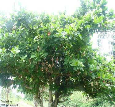 Tropical almond tree