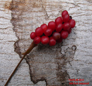 Anthurium gracile - Red Pearls Anthurium seeds
