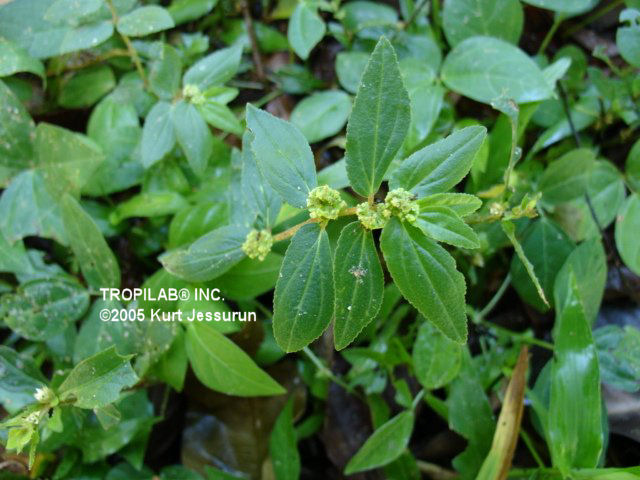 Euphorbia hirta, Asthma weed, used to treat bronchial asthma, upper respiratory tract infection (URTI) and 