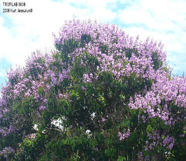 Lagerstroemia speciosa - Queen's flower tree