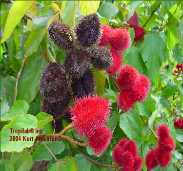 Bixa orellano red-Annato seedpods. Seeds are used as dye for the food -, cosmetic - and soap industries