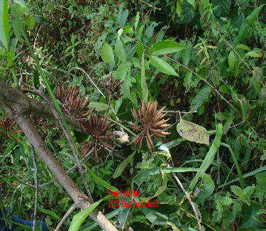 Uncaria guianensis with seedpods