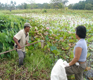 Picking sacred lotus