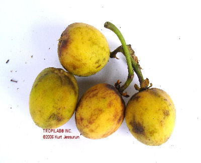 ripe fruit physic nut