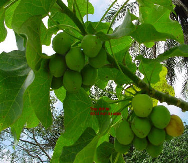 Jatropha fruits on the tree