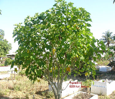 Jatropha curcas grown tree