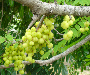 Malay gooseberry fruit