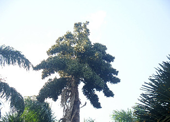 Talipot palm with fruits