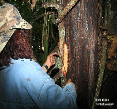 Harvesting Virola species (Babun) bark
