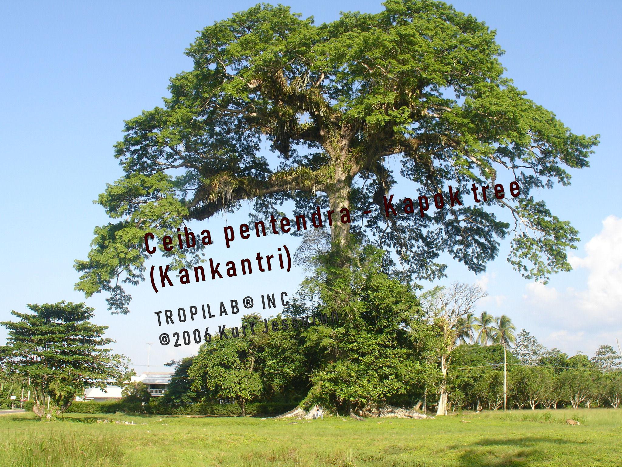 Ceiba Pentandra L.- Kapok tree.