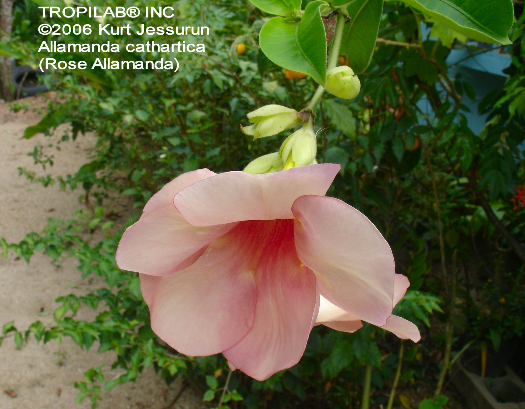 Allamanda cathartica - Golden trumpet vine rose flower