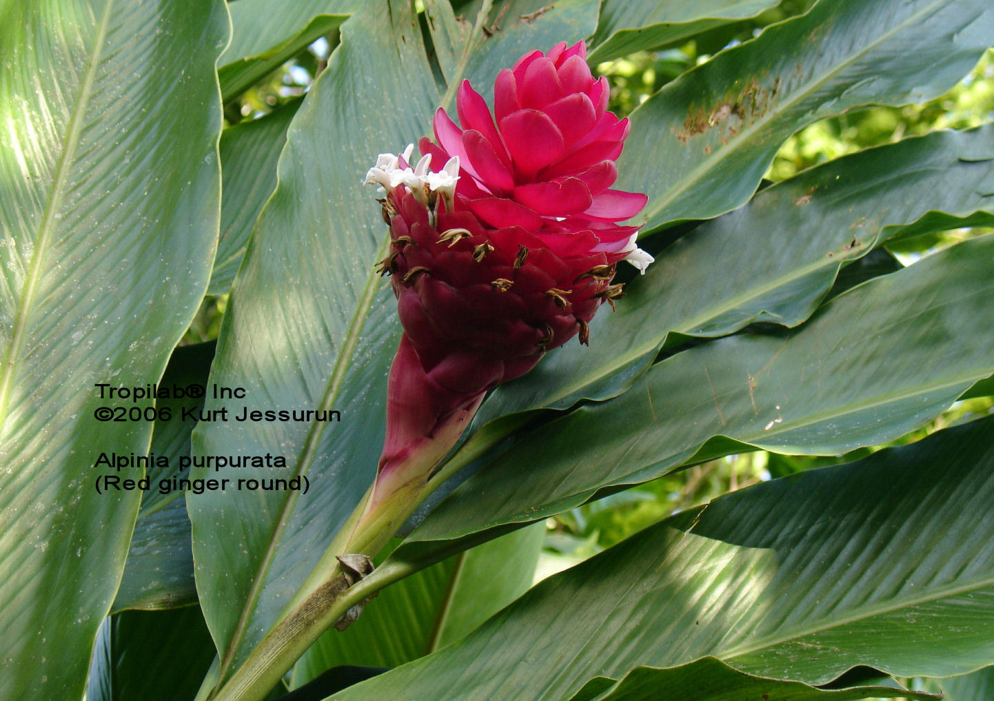 Alpinia purpurata, Red ginger round