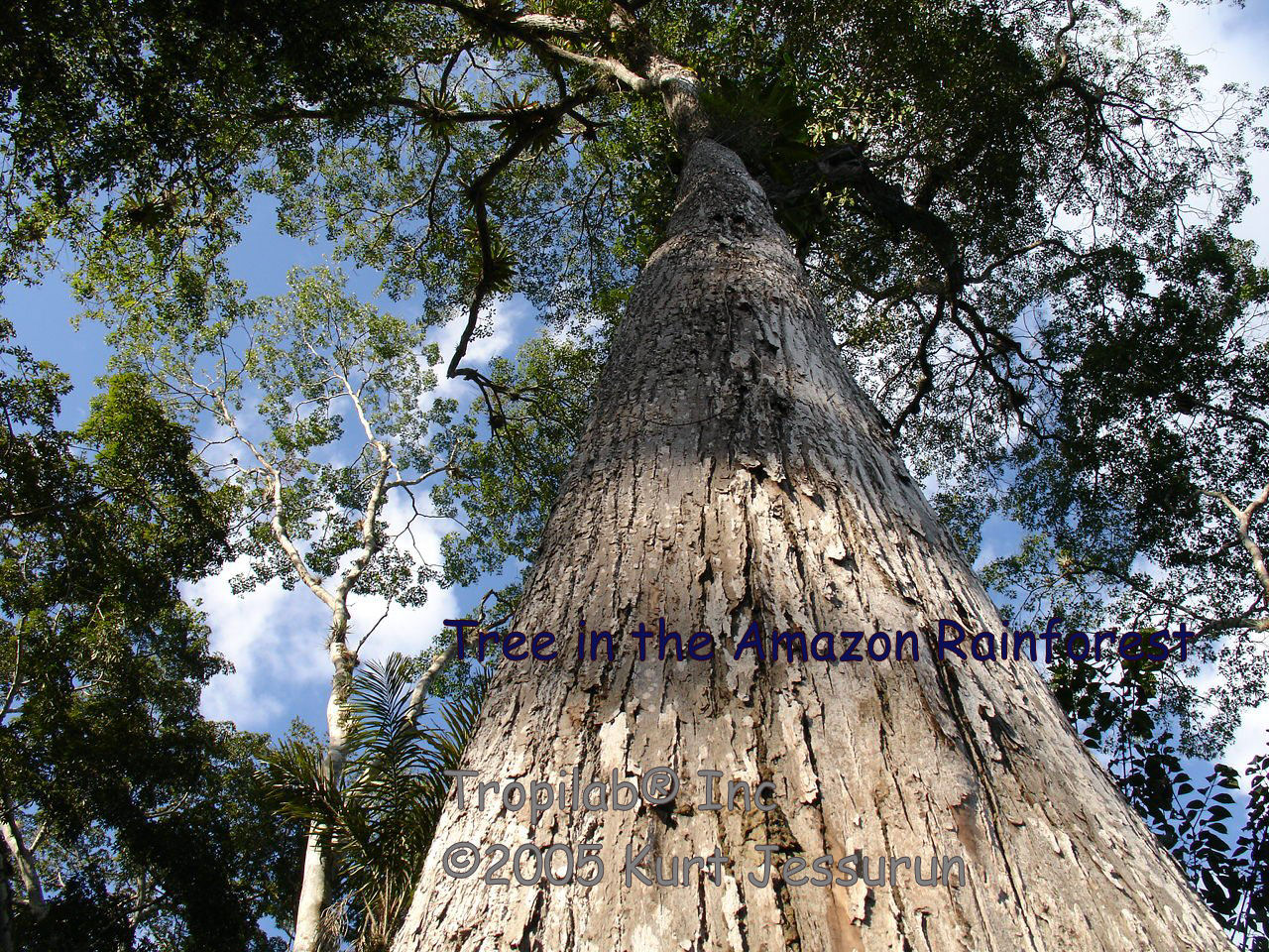 Big tree in the amazon rainforest