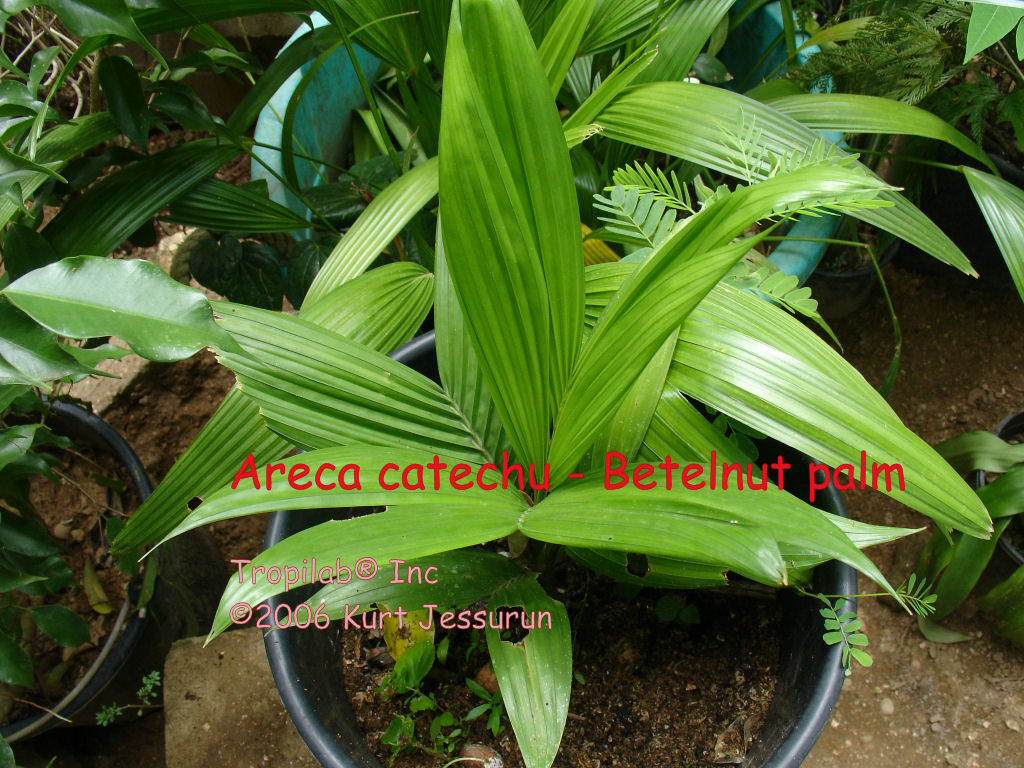 Areca catechu (Betelnut palm) young palm