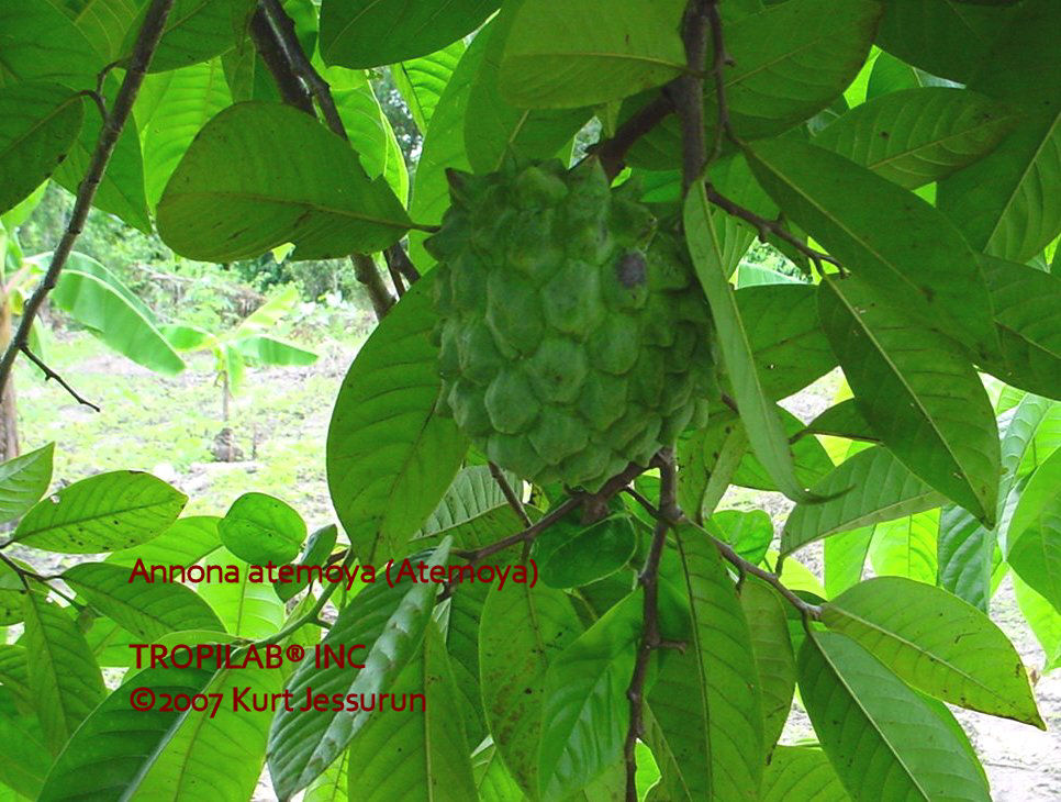 Annona atemoya young fruit