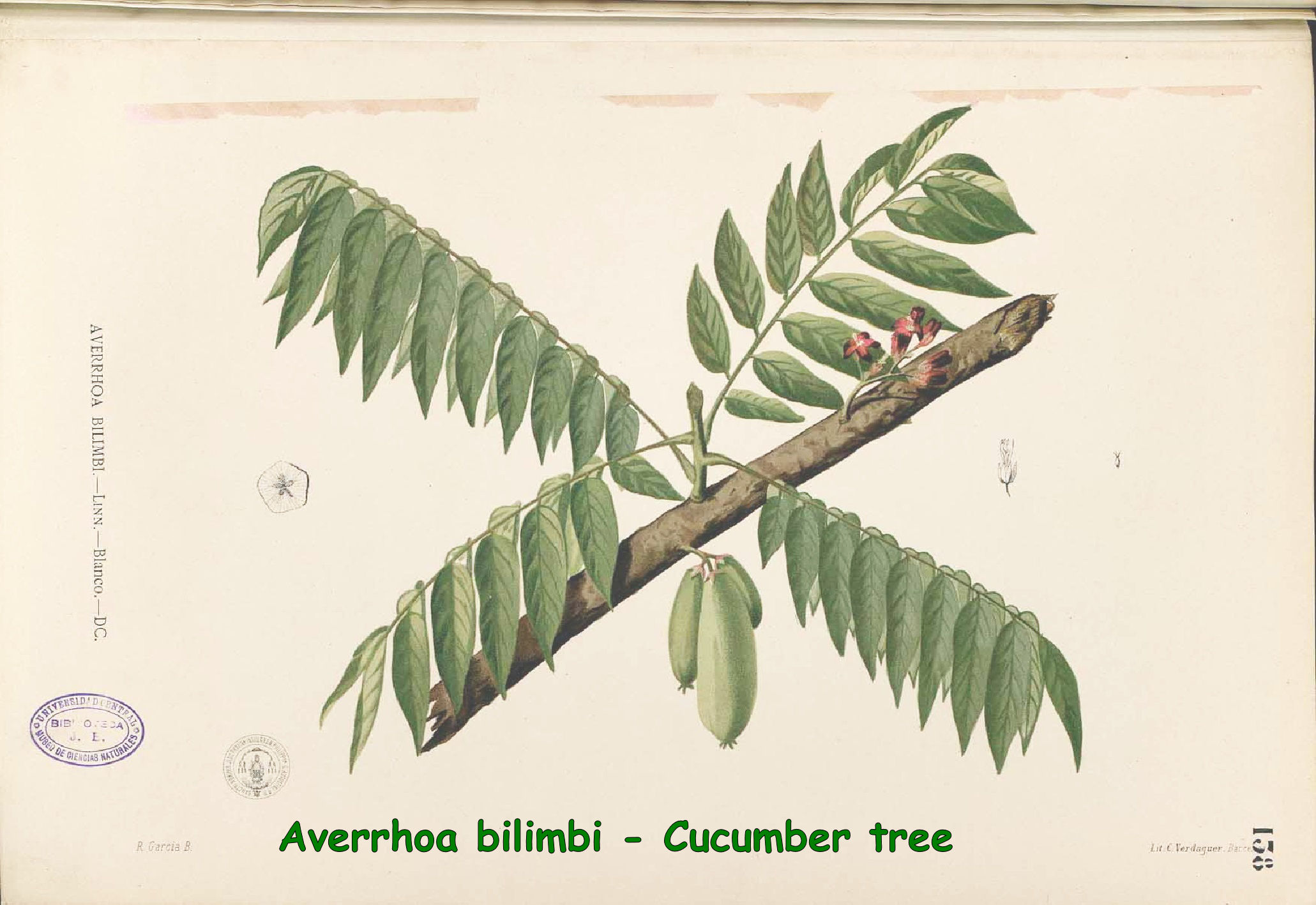 Averrhoa bilimbi - Cucumber tree