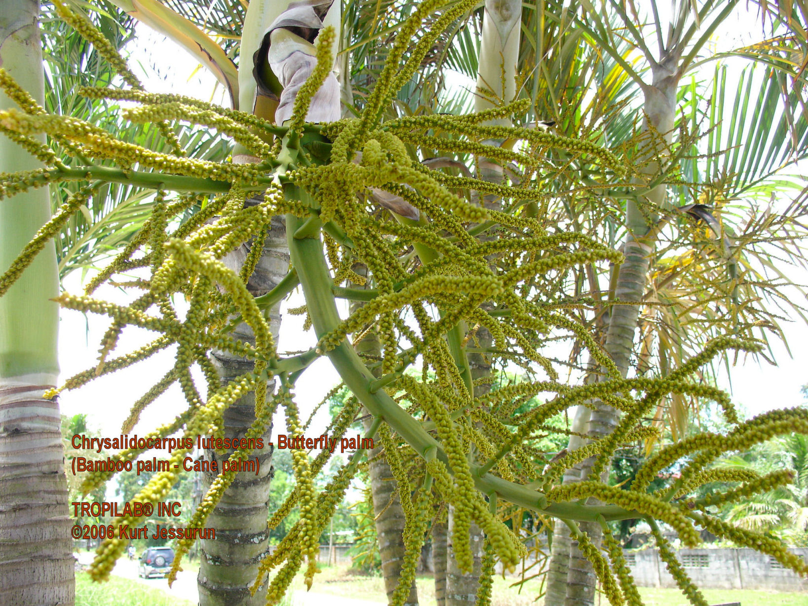 Chrysalidocarpus lutescens - Butterfly palm
