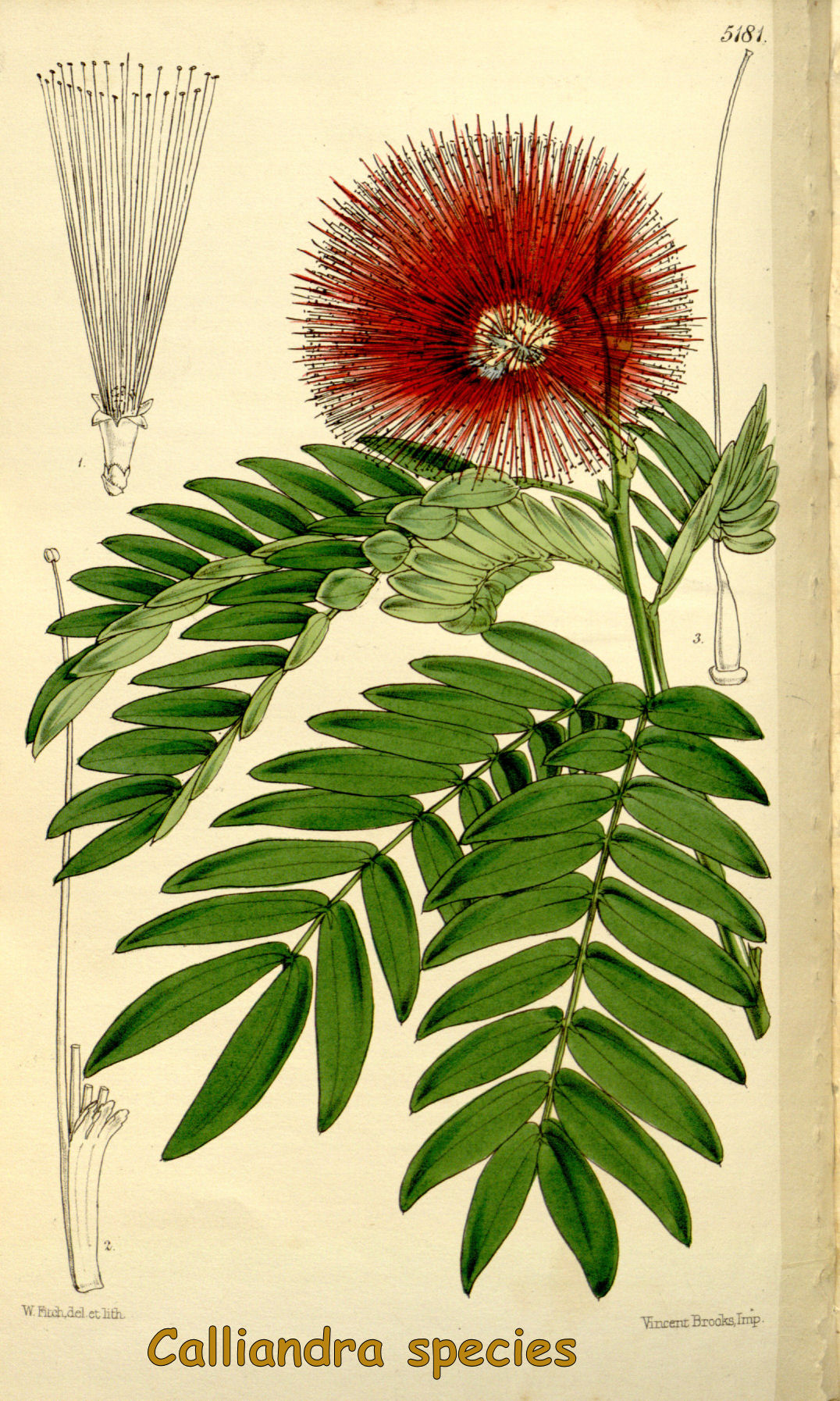 Calliandra species