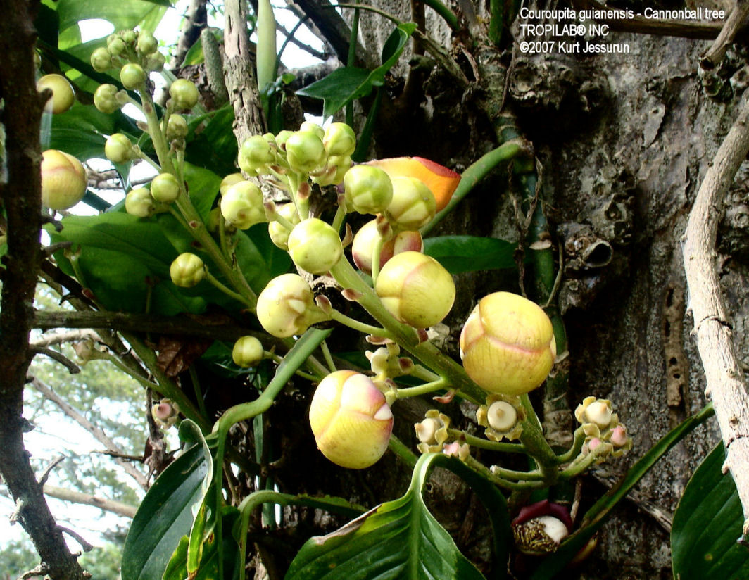 Couroupita guianensis- Cannonball tree flowers