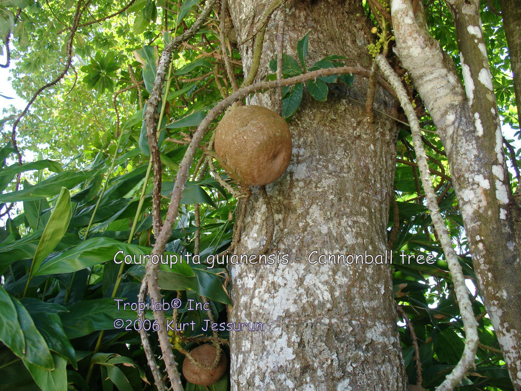 Couroupita guianensis- Cannonball tree fruit