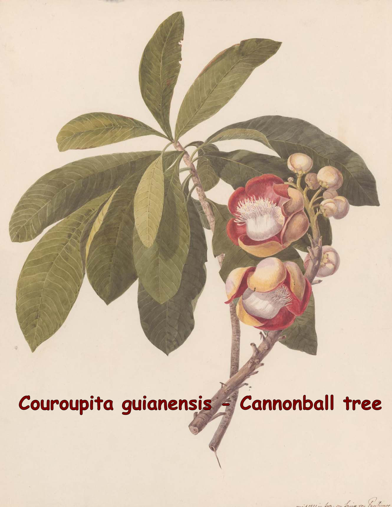 Couroupita guianensis- Cannonball tree