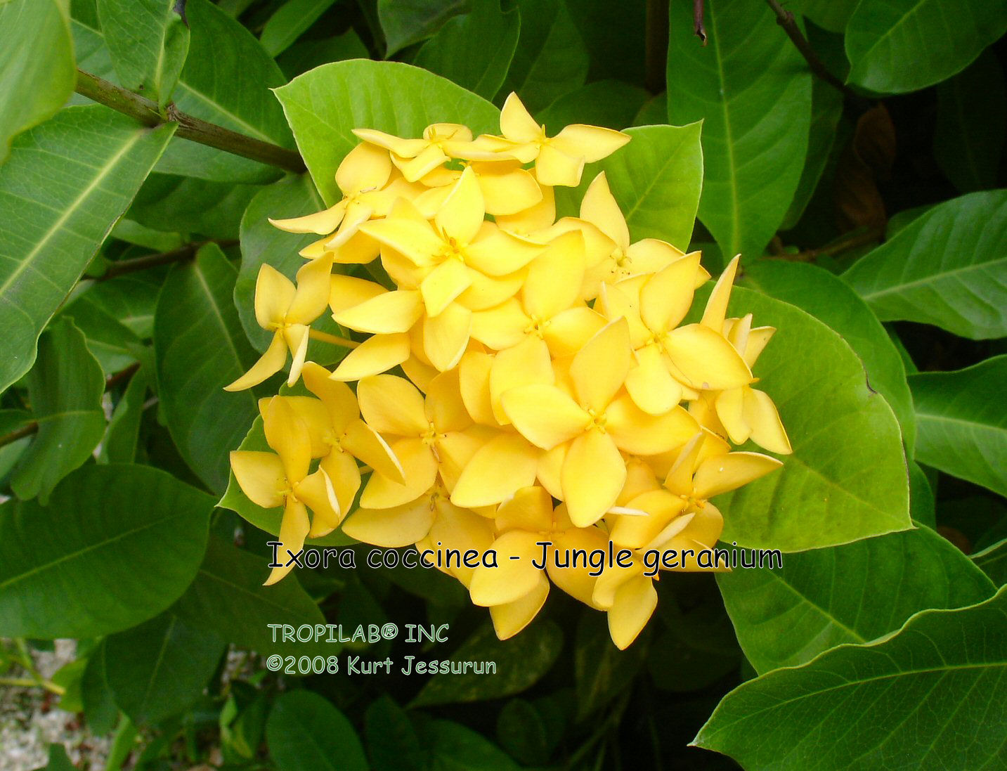 Ixora coccinea - Jungle geranium yellow