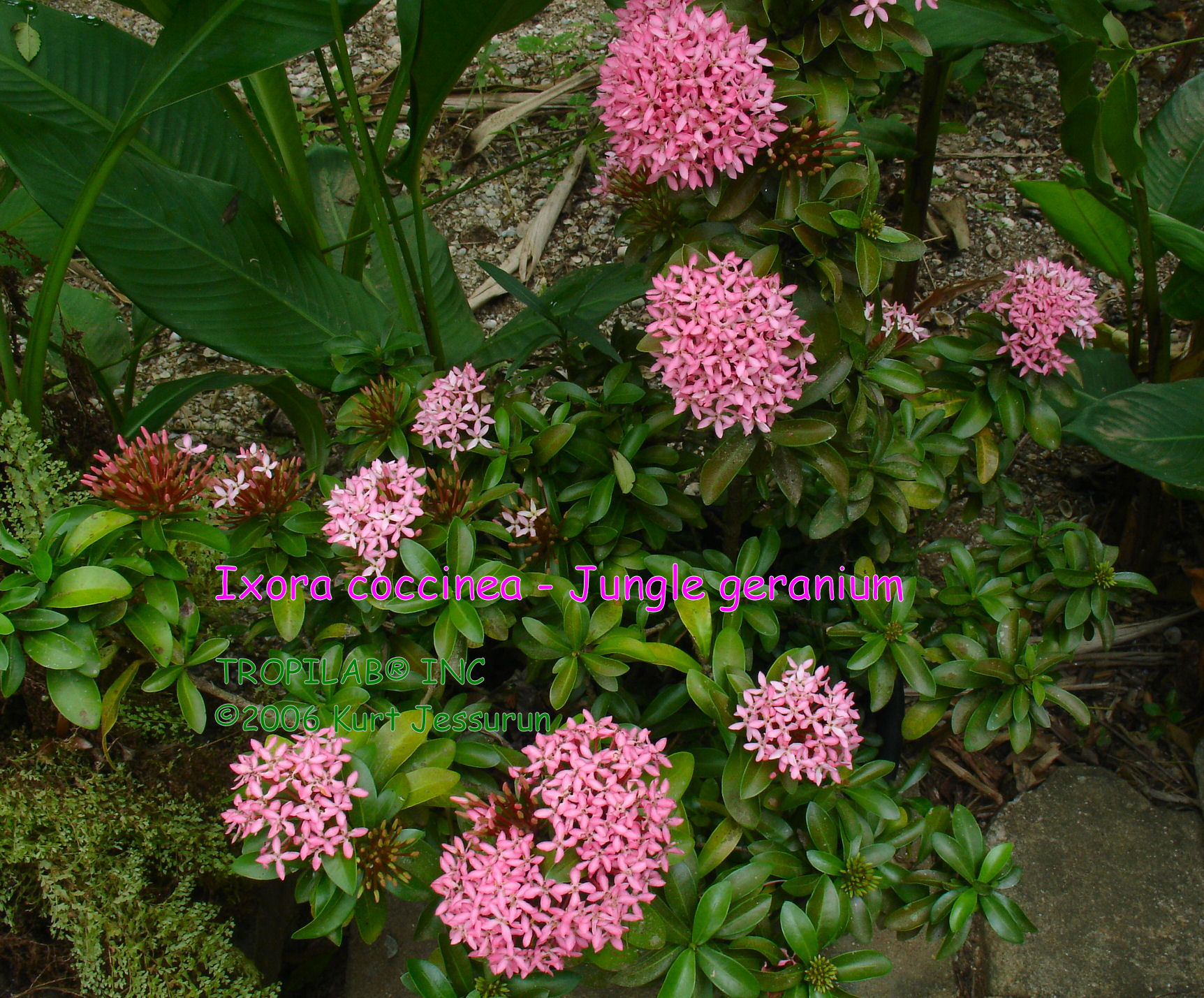 Ixora coccinea - Jungle geranium pink
