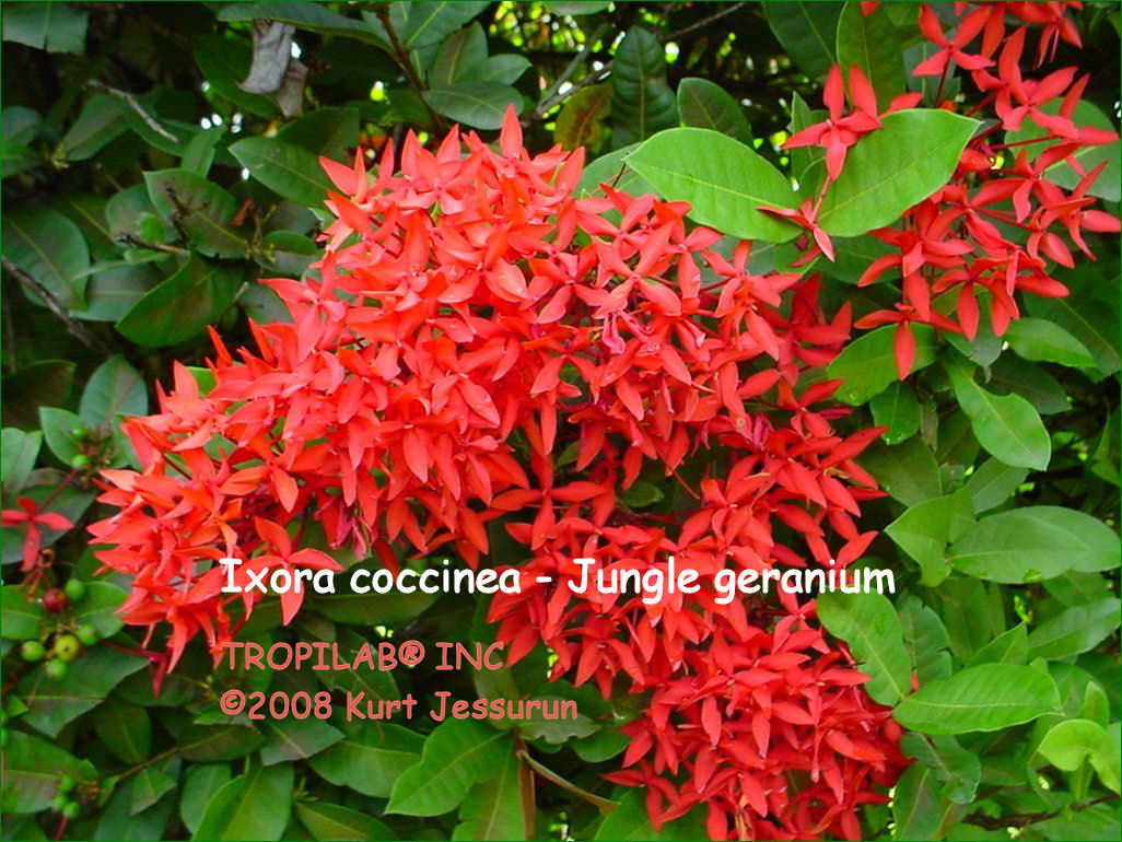 Ixora coccinea - Jungle geranium red