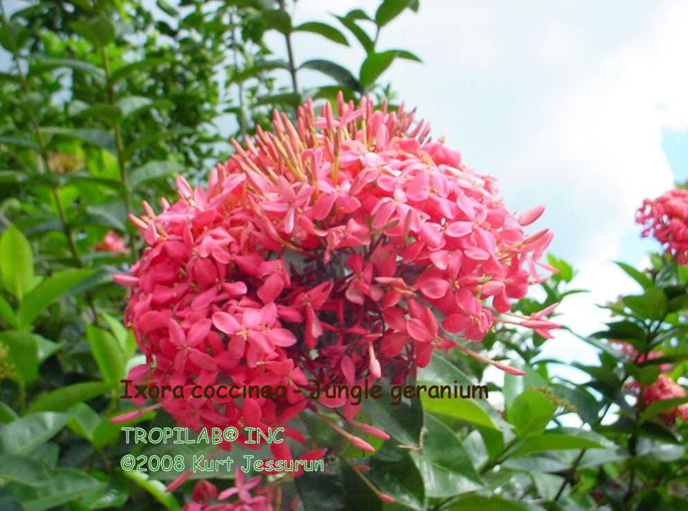 Ixora coccinea - Jungle geranium rose