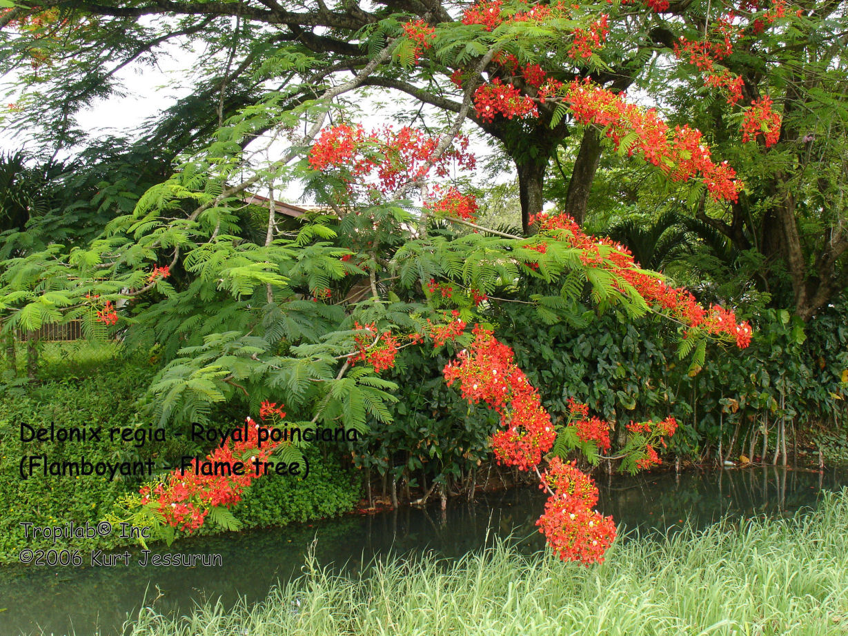 Delonix regia - Royal Poinciana