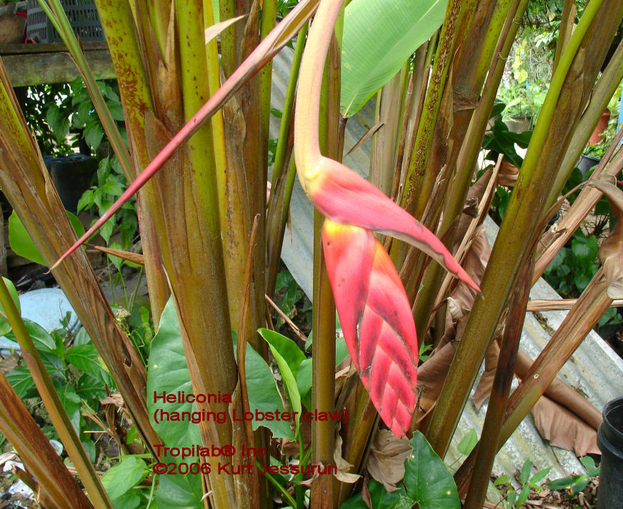Heliconia Lobster claw