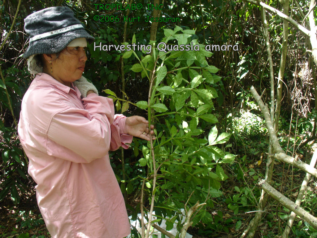 Harvesting Quassia amara (Amargo - Bitterwood) in the rainforest