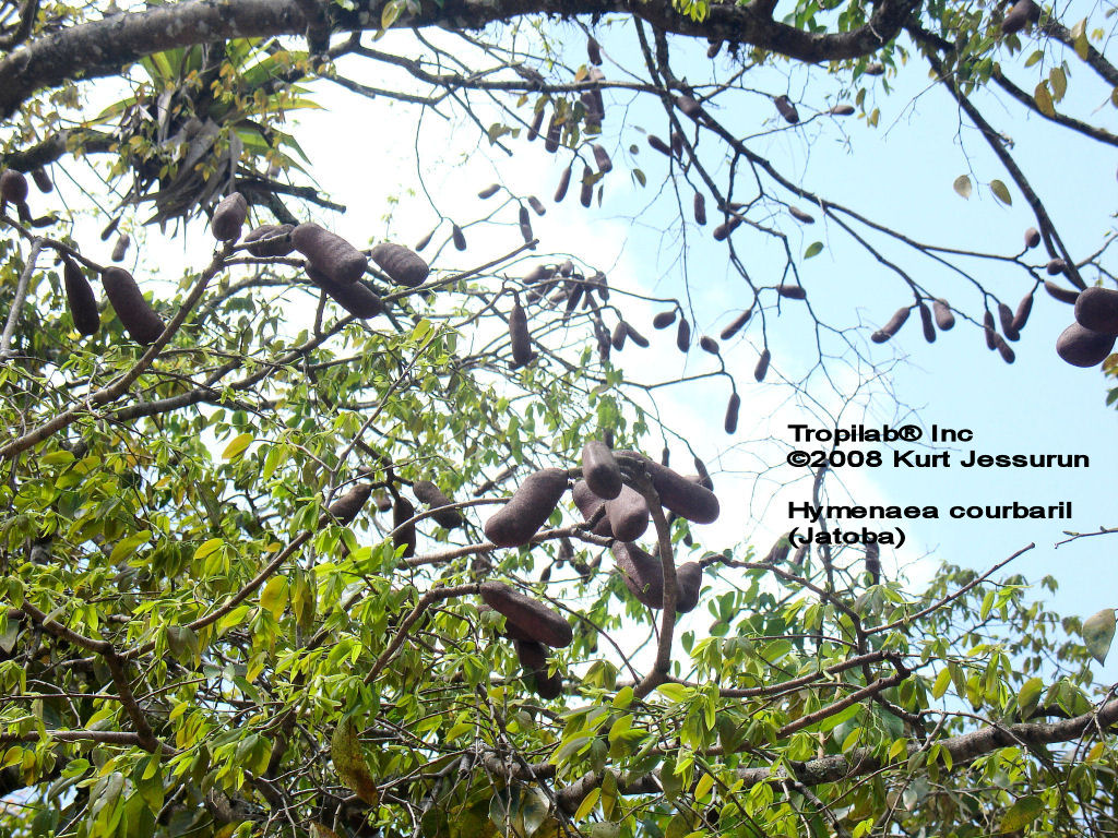 Hymenaea courbaril - Jatoba seedpods