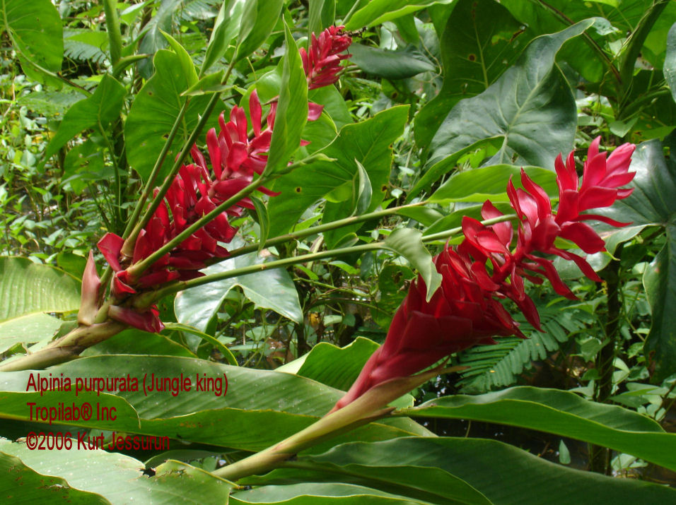 Alpinia purpurata, Red ginger