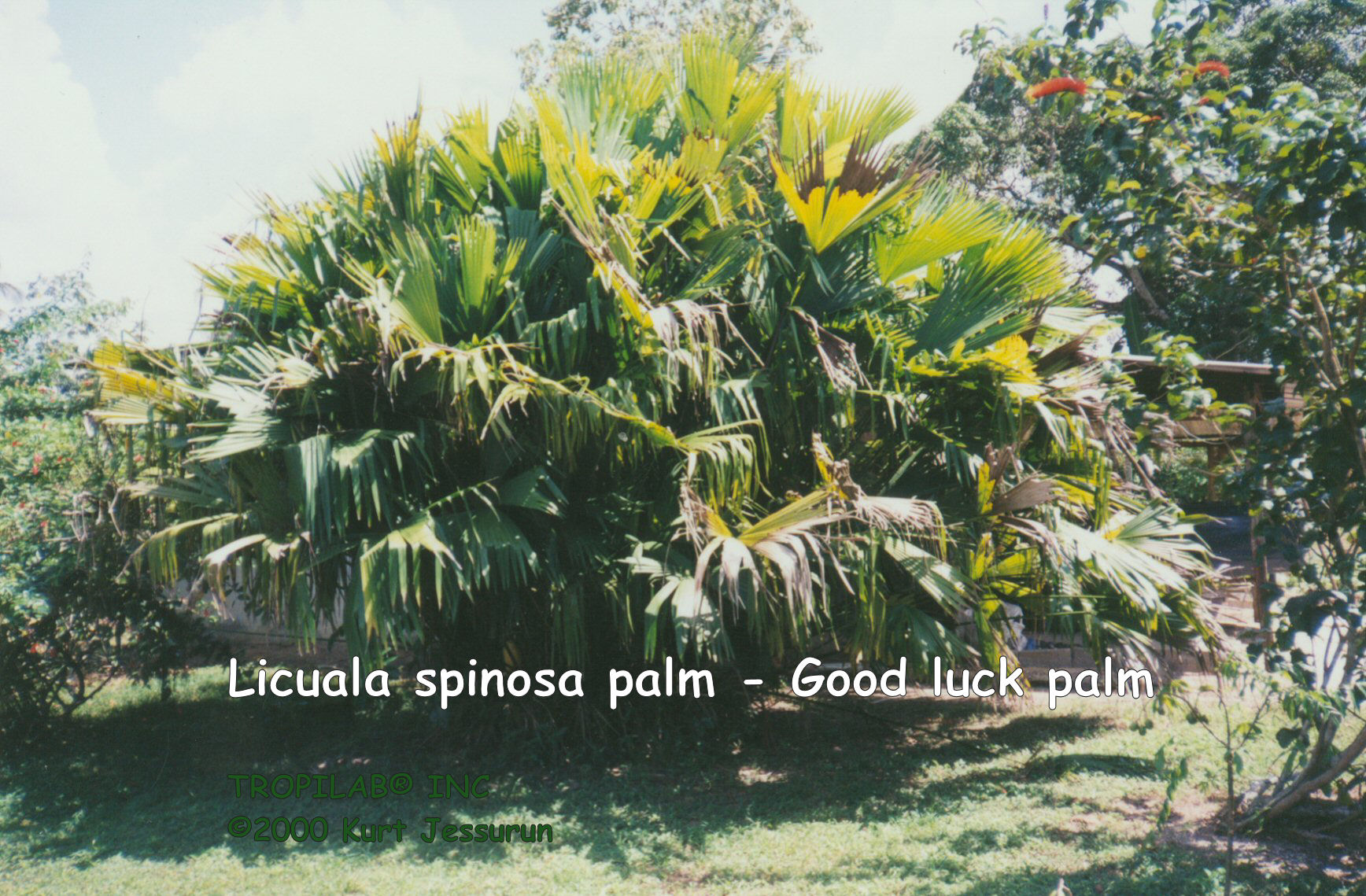 Licuala spinosa - Good luck palm