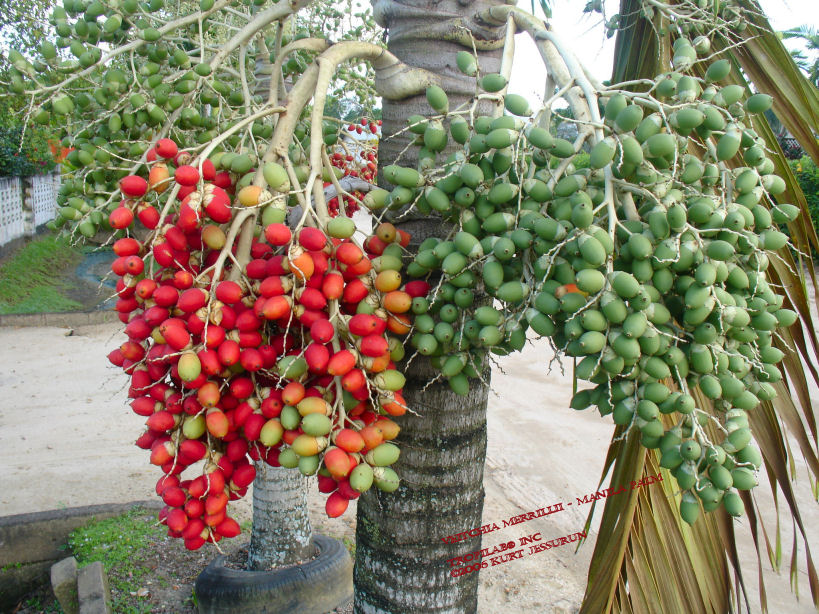 Veitchia merrillii - Manilapalm fruits