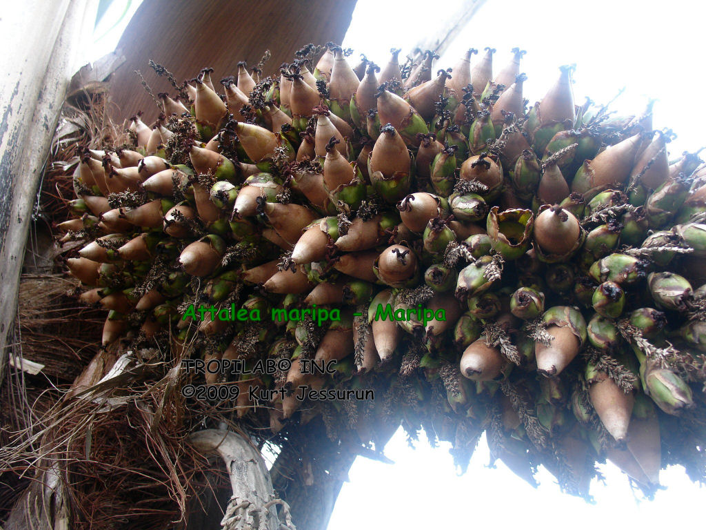 Attalea maripa - Maripa palm fruits