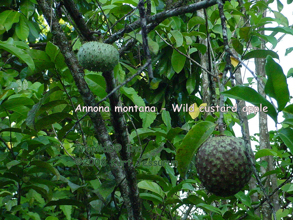 Annona montana - Wild custard apple