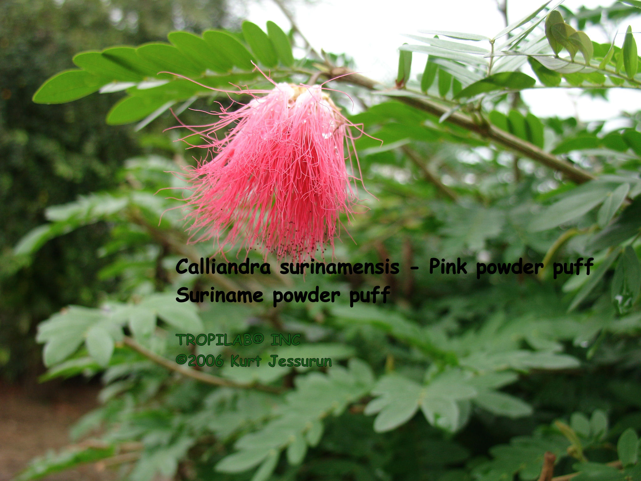 Calliandra surinamensis - Surinam powder puff