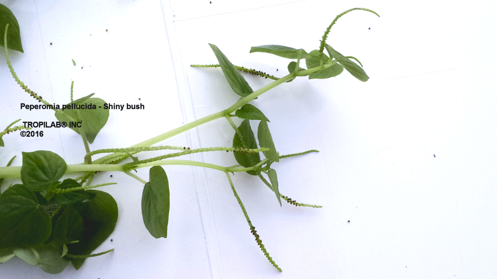 Peperomia pellucida - Shiny bush seeds