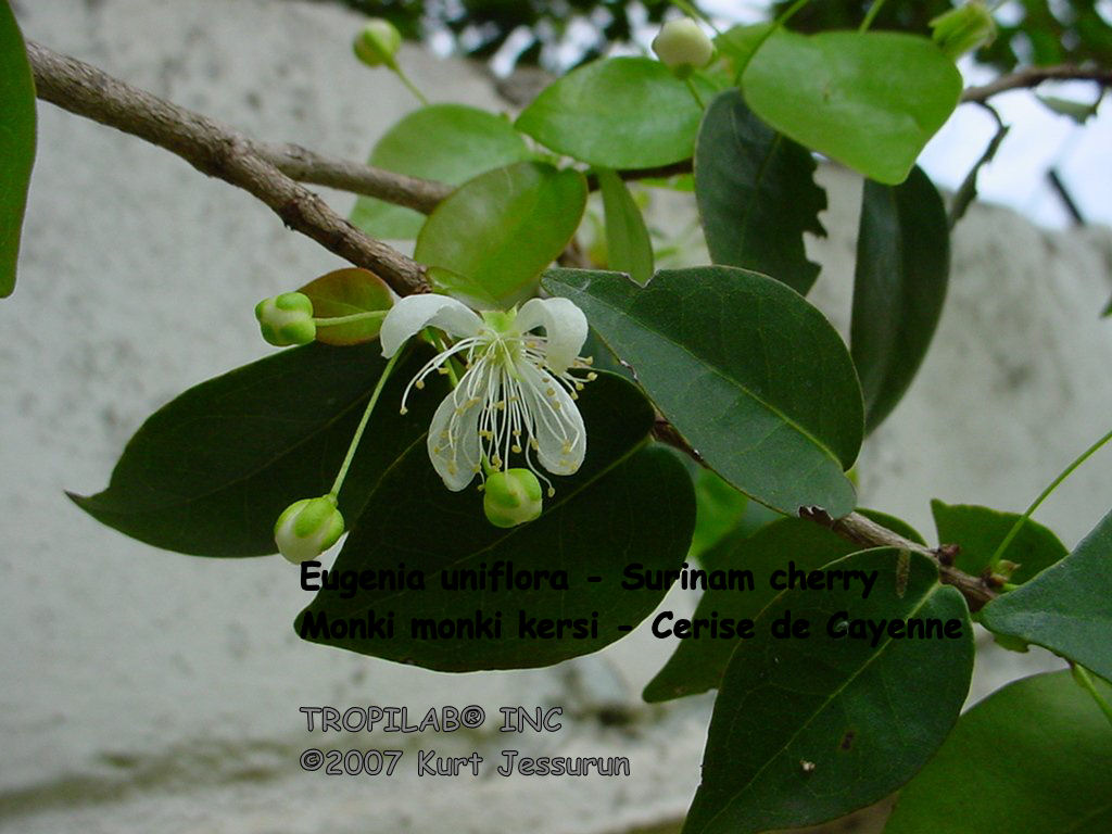 Eugenia uniflora - Surinam cherry flower