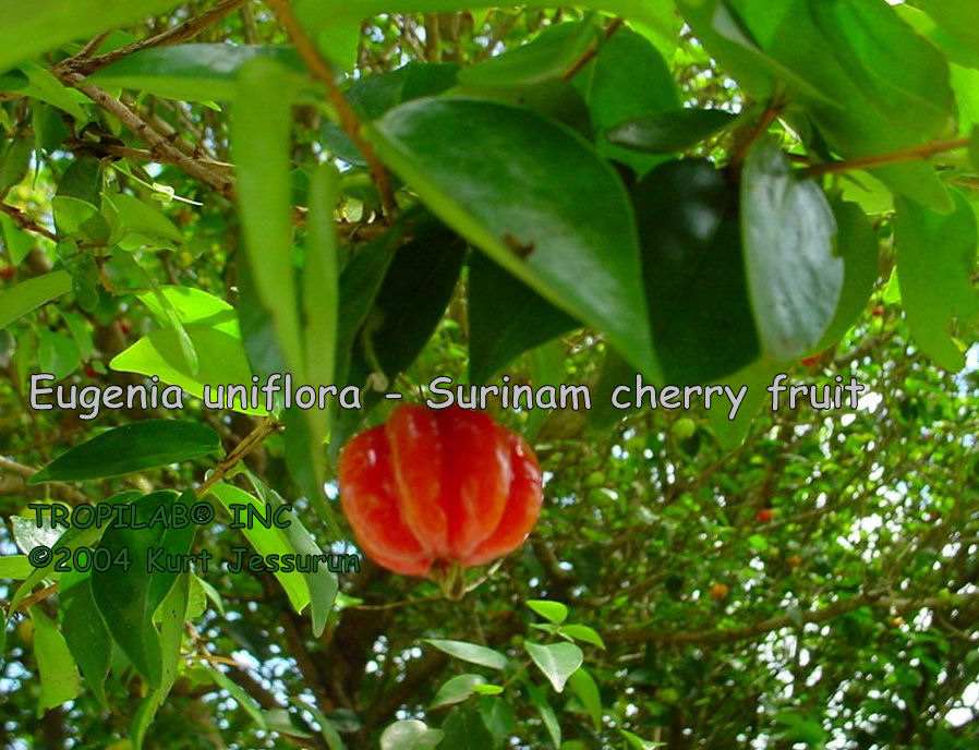 Eugenia uniflora - Surinam cherry fruit