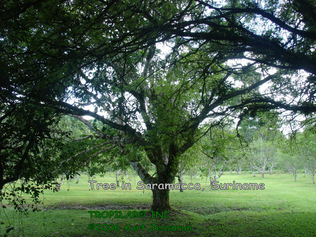 Beautiful tree in Saramacca, Suriname