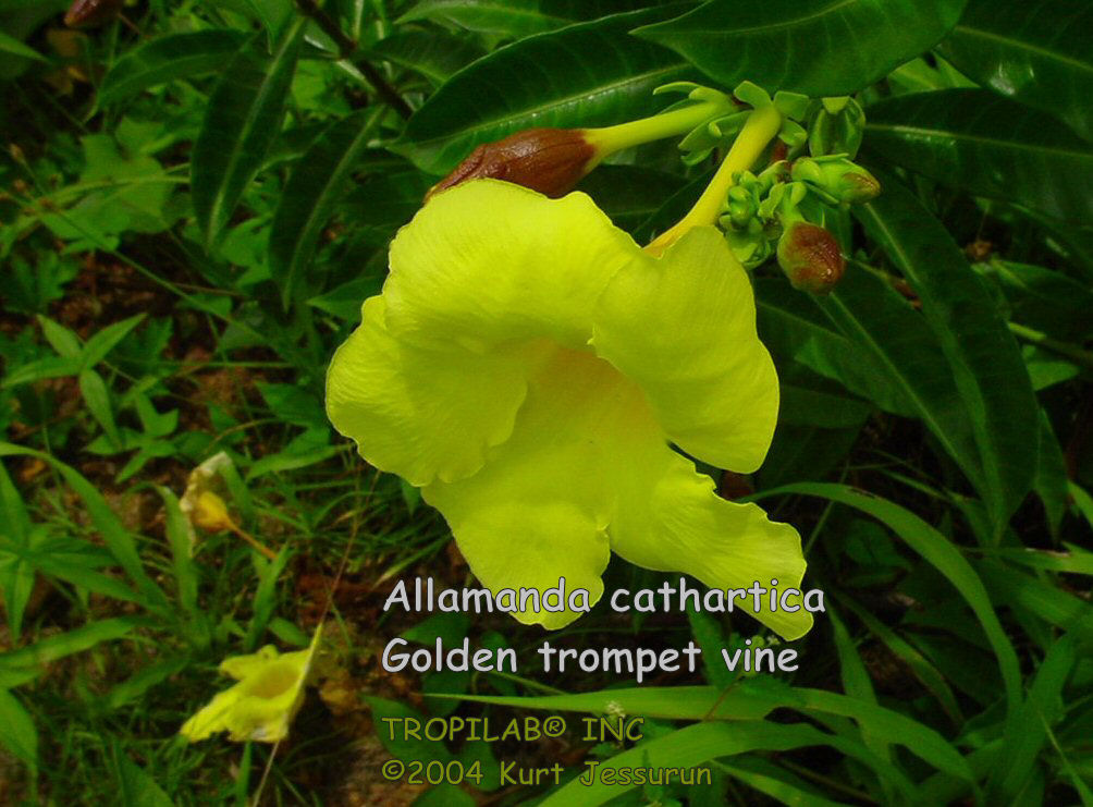 Allamanda cathartica - Golden trumpet flower
