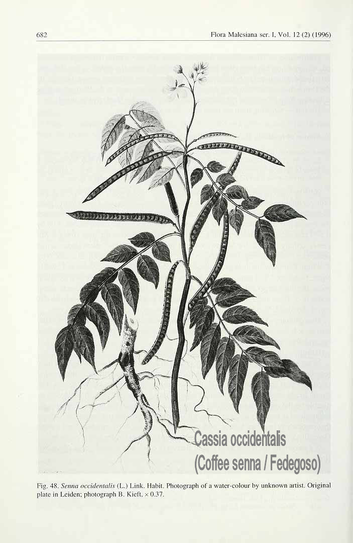 Cassia occidentalis l coffee senna cassia occidentalis ccuart Image collections